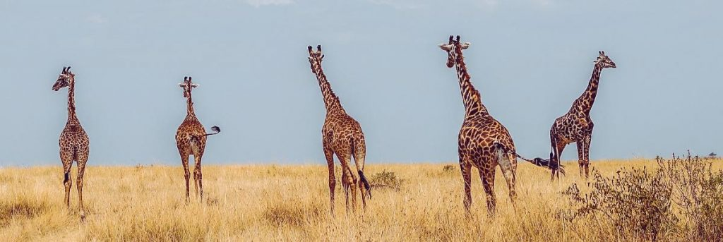 africa giraffes